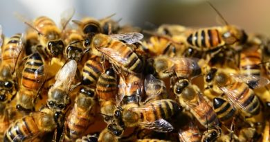 Rój pszczół na placu zabaw – POBIEDNA